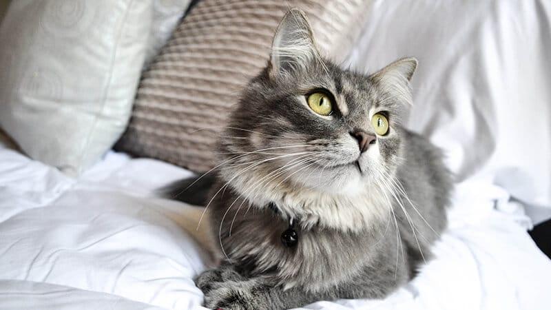 Gambar Hewan Peliharaan Lucu - Kucing Lucu