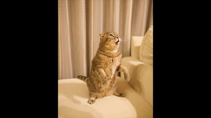 Gambar Hewan Peliharaan Lucu - Kucing Kaget