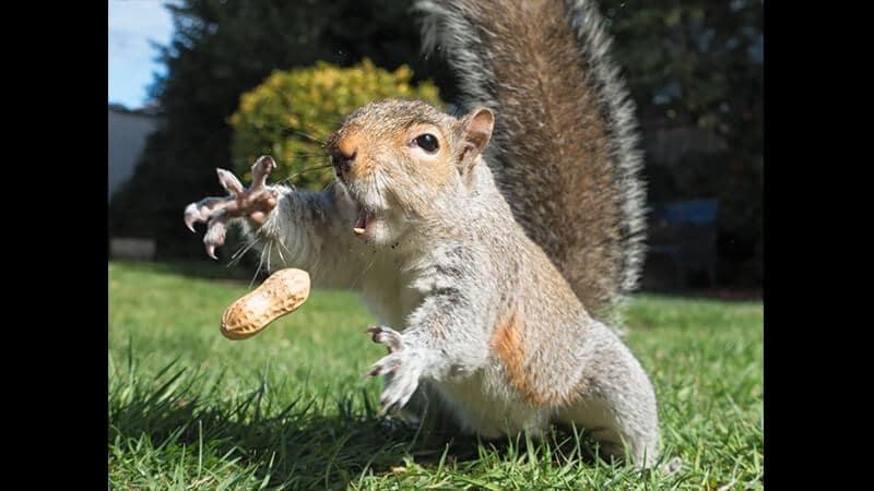 Gambar Hewan Peliharaan Lucu - Tupai Menangkap Kacang