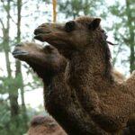 Wisata Taman Safari Bogor - Unta