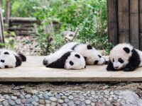 Gambar Bayi Panda Lucu - Bayi Bayi Panda