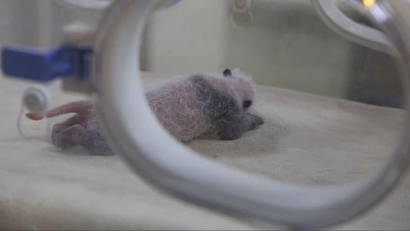 Gambar Bayi Panda Lucu - Bayi Panda Baru Lahir