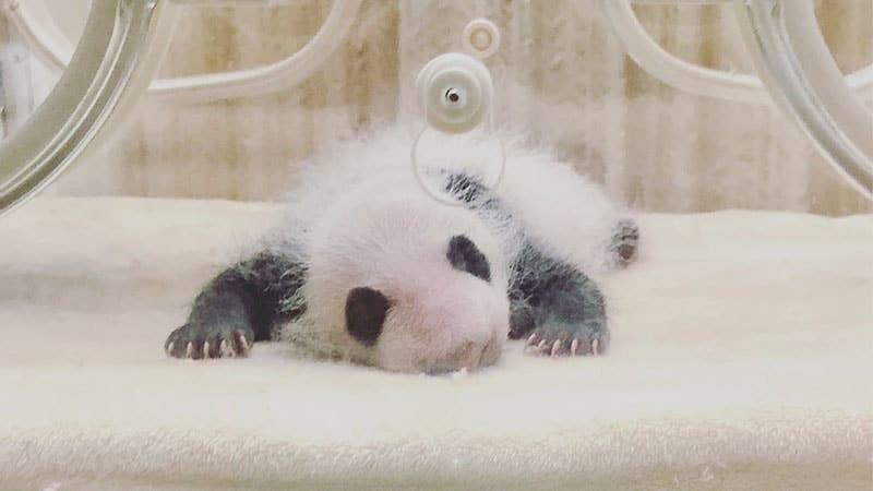 Gambar Bayi Panda Lucu - Bayi Panda di Inkubator