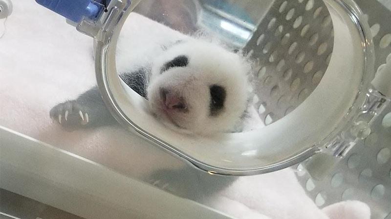 Gambar Bayi Panda Lucu - Senderan di Lubang Inkubator