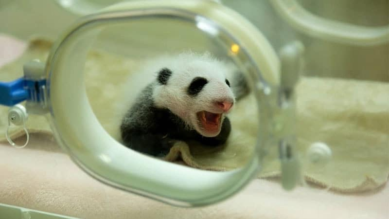 Gambar Bayi Panda Lucu - Bayi Panda Ngantuk