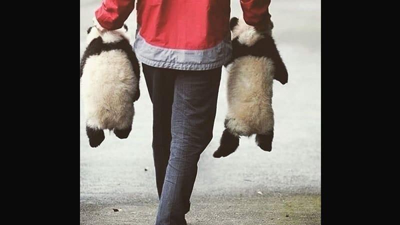 Gambar Bayi Panda Lucu - Bayi Panda Dijinjing