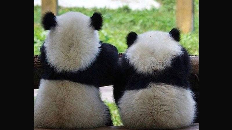 Bayi Panda Lucu Bayi Panda Melamun