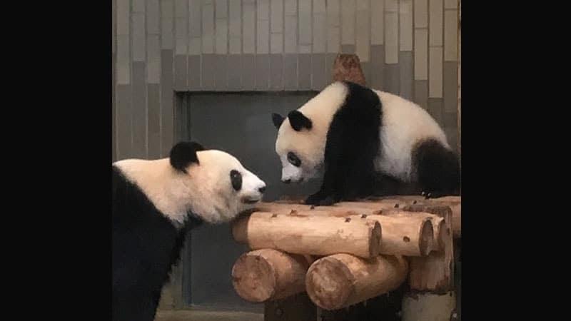 Gambar Bayi Panda Lucu - Bayi Panda & Induk Berhadap-hadapan