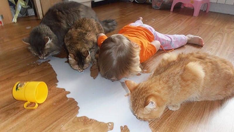 Foto Foto Kucing Lucu - Kucing Minum Susu Tumpah di Lantai