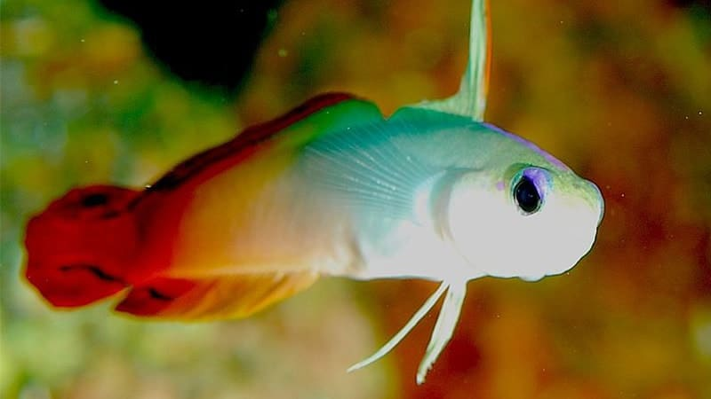 Macam-Macam Ikan Hias Air Laut - Firefish
