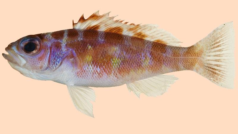Macam-Macam Ikan Hias Air Laut - Chalk Bass