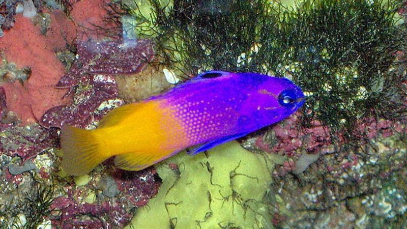 Macam-Macam Ikan Hias Air Laut - Royal Gramma