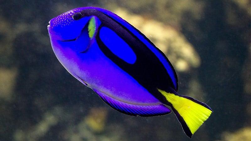Macam-Macam Ikan Hias Air Laut - Dory