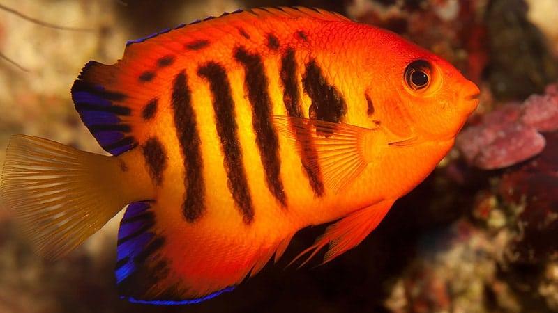Macam-Macam Ikan Hias Air Laut - Flame Angelfish