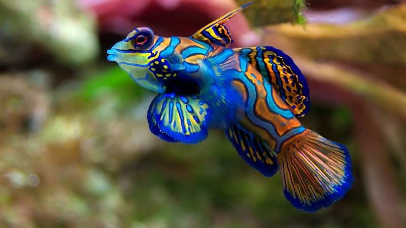Macam-Macam Ikan Hias Air Laut - Mandarin Fish