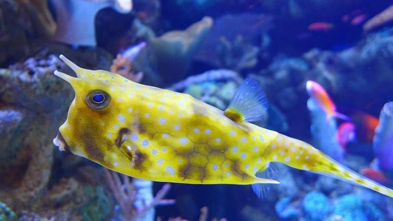 Macam-Macam Ikan Hias Air Laut - Yellow Boxfish
