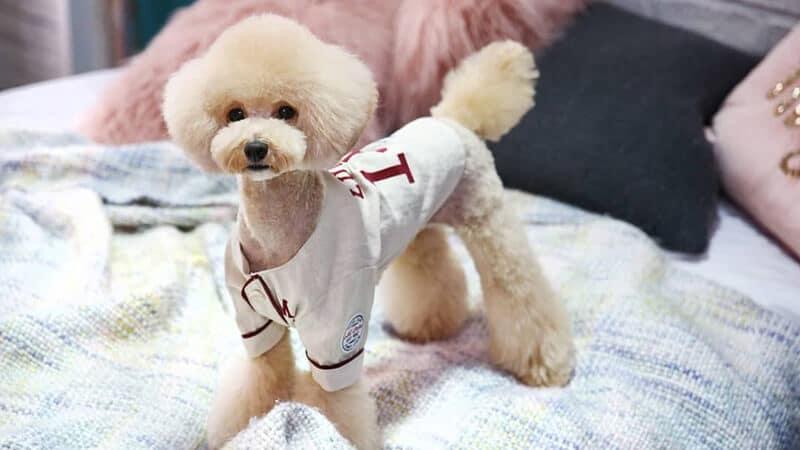 Gambar anjing lucu dan imut - Pudel berkostum seragam baseball