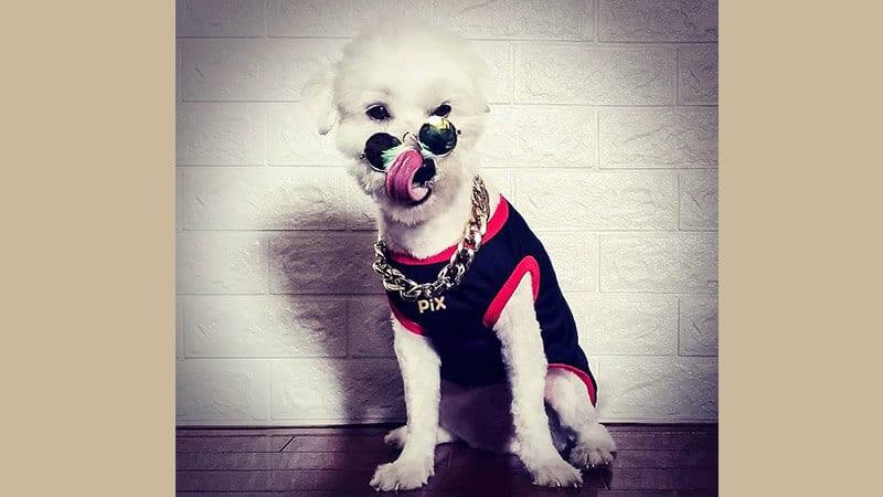 Gambar anjing lucu dan imut - Binatang berkostum rapper