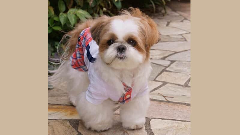 Gambar anjing lucu dan imut - Shih tzu memakai seragam