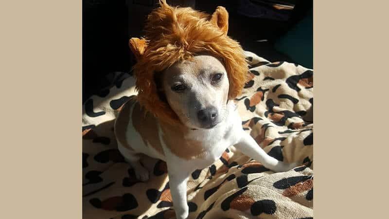 Gambar anjing lucu dan imut - Anjing memakai wig
