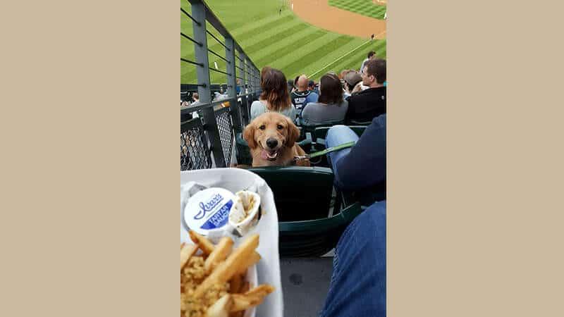Gambar anjing lucu dan imut - Golden retriever dan kentang