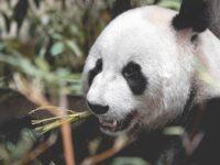 Ciri Ciri Hewan Panda - Panda Makan Daun