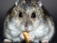 Jenis Jenis Hamster - Hamster Makan Biskuit