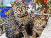 Jenis jenis kucing peliharaan - Beberapa kucing belang