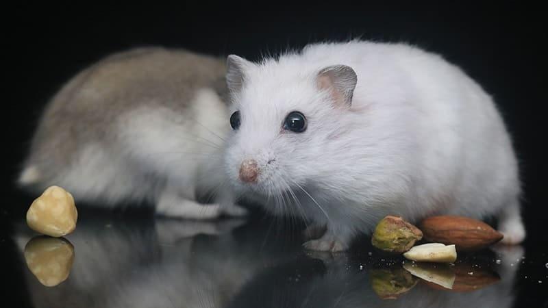 Jenis Jenis Hamster - Hamster Putih dan Hamster Kecokelatan