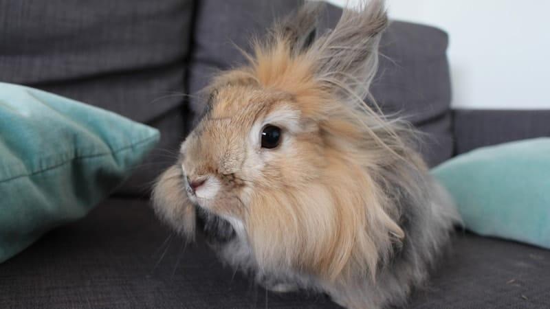 Jenis jenis kelinci - Kelinci Anggora