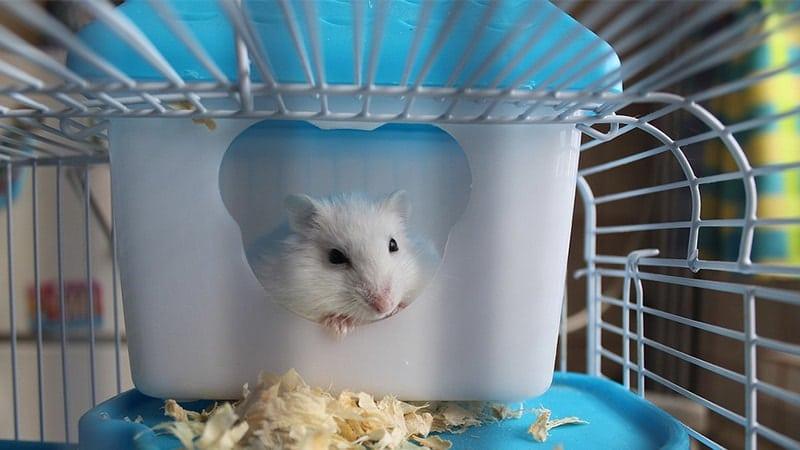 Jenis Jenis Hamster - Hamster Putih di Dalam Kandang