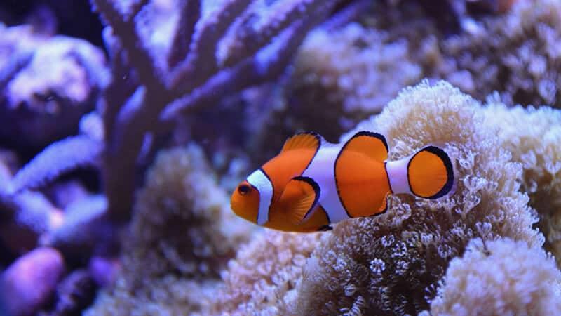 Jenis Jenis Ikan - Clown Fish