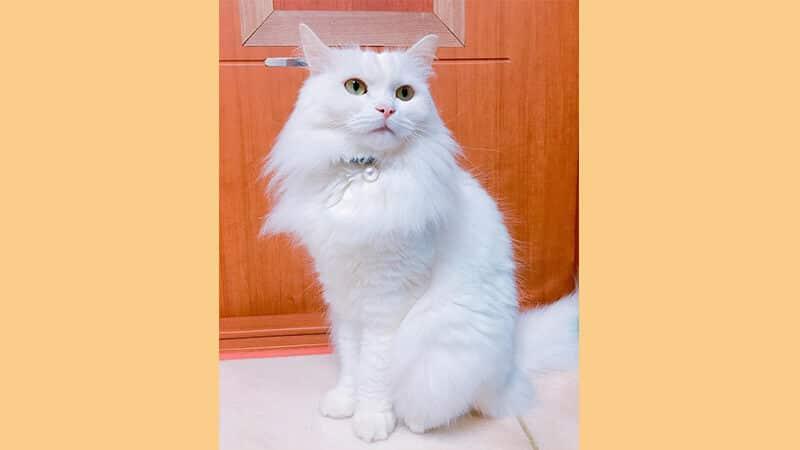 Jenis jenis kucing peliharaan - Anggora