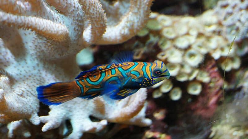 Jenis Jenis Ikan - Mandarin Fish