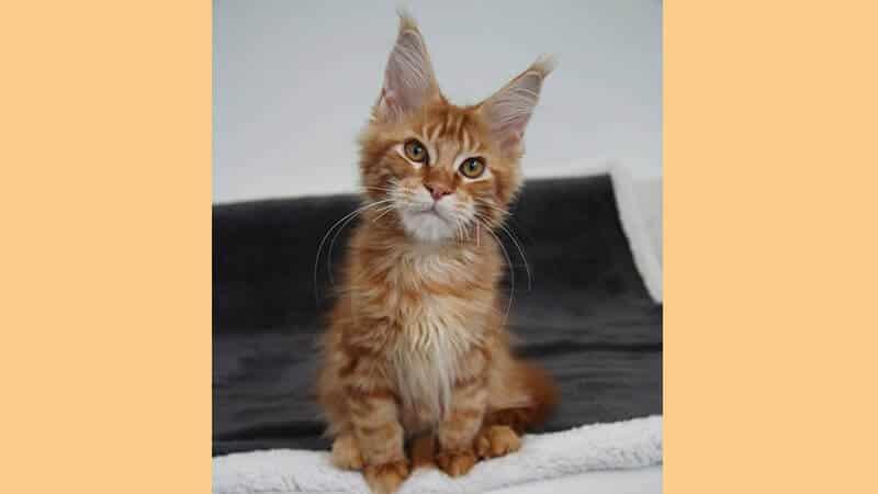 Jenis jenis kucing peliharaan - Maine coon