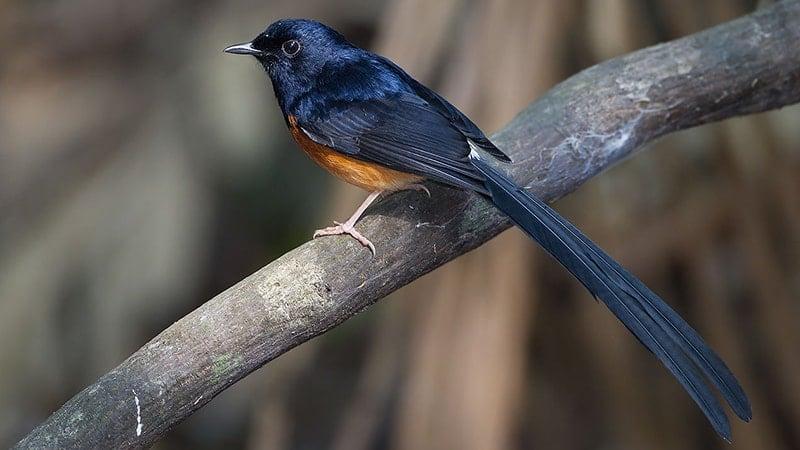 Macam Macam Burung Peliharaan - Burung Murai Batu