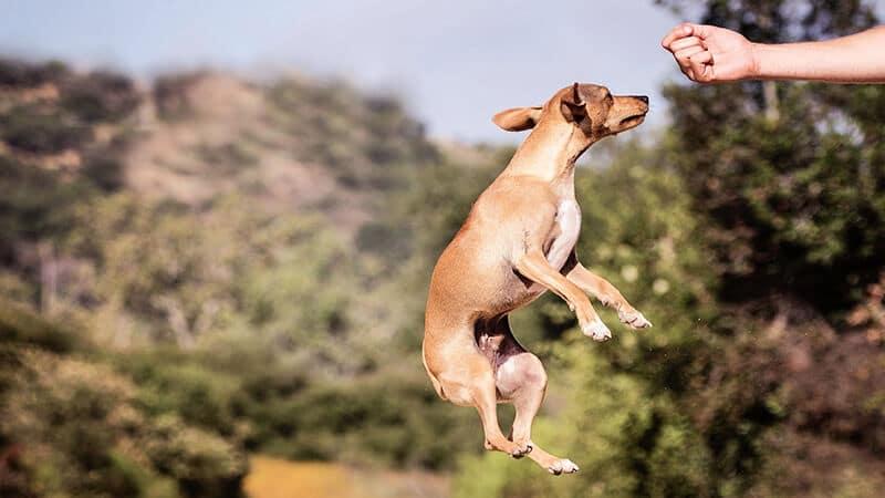 Jenis jenis anjing peliharaan - Melatih piaraan