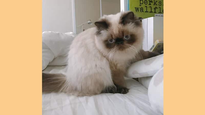 Jenis jenis kucing peliharaan - Himalaya