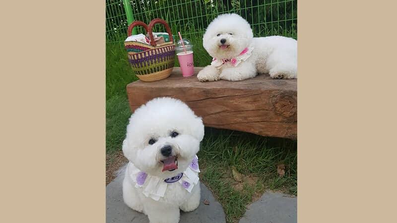 Jenis jenis anjing peliharaan - Bichon frise