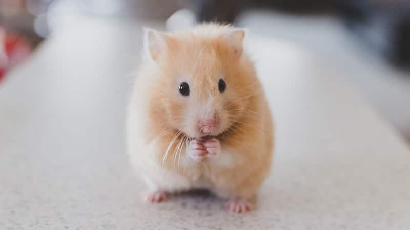 Jenis Jenis Hamster - Hamster Emas