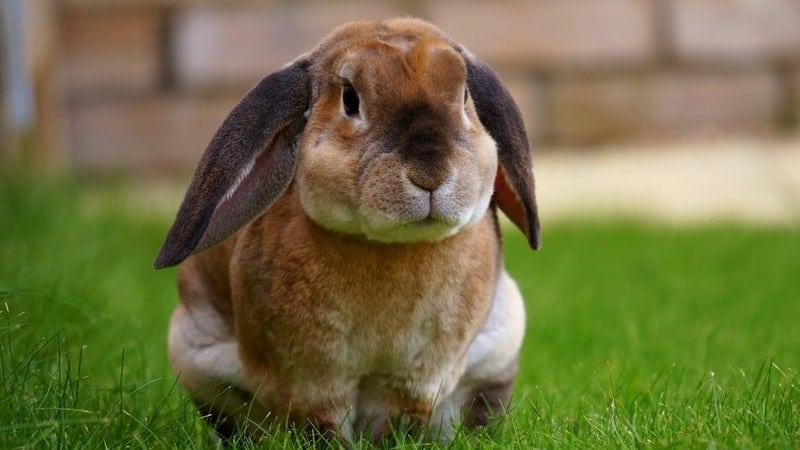 Jenis jenis kelinci - Kelinci lop