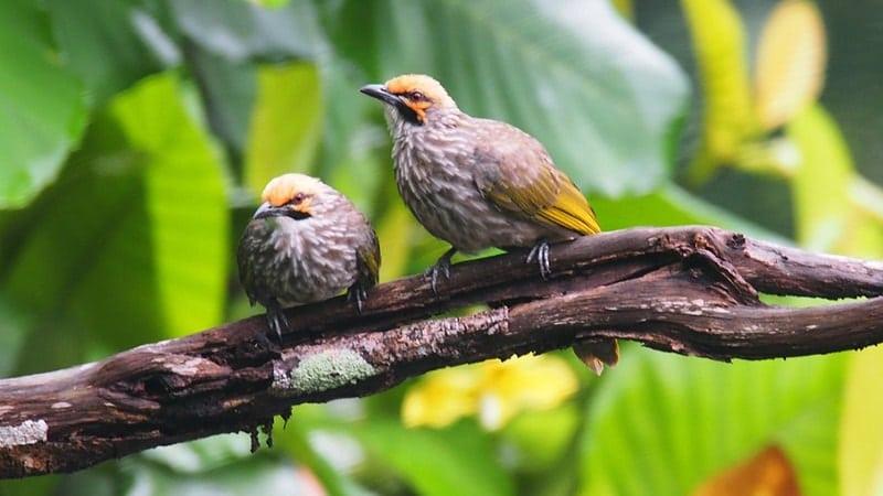 Macam Macam Burung Peliharaan - Burung Cucak Rowo