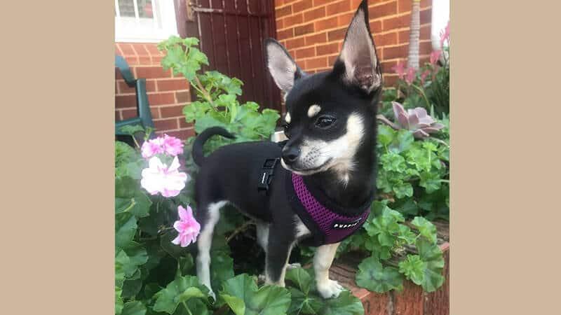 Jenis jenis anjing peliharaan - Chihuahua