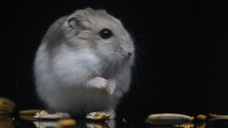 Jenis Jenis Hamster - Hamster Putih Keabu-abuan