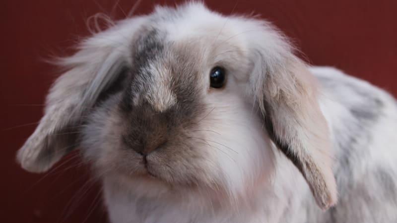 Jenis jenis kelinci - Fuzzy lop