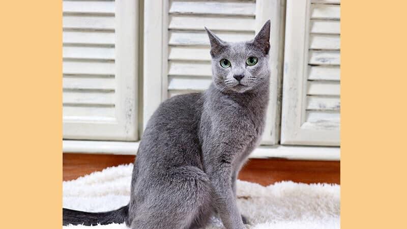 Jenis jenis kucing peliharaan - Russian Blue