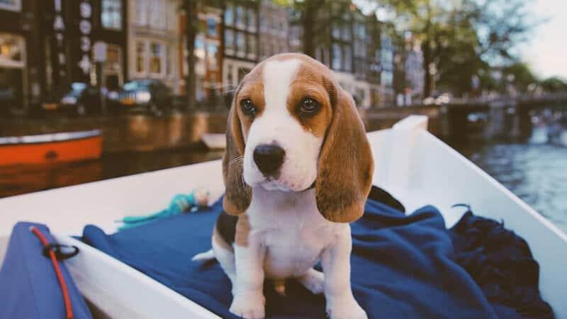 Jenis jenis anjing peliharaan - Beagle