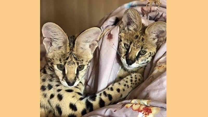 Jenis jenis kucing peliharaan - Savannah