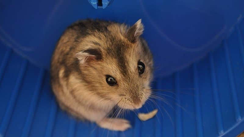 Jenis Jenis Hamster - Hamster Kerdil Campbell