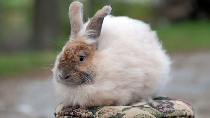 Jenis jenis kelinci - French angora